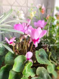ミニシクラメン グリーンティアラが咲くまで♪ - てふの庭