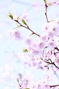 ご近所のsakura ⑦ 2018/04/10 - 虹のむこうには何が見える?