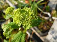 ガーデンフリマに向けての苗たち - natural garden~       shueの庭いじりと日々の覚書き