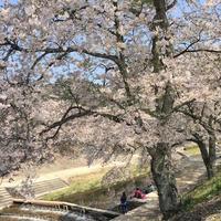 のどかな美しさに感動 鮎河の千本桜 - mayumin blog 2