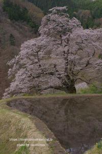 駒つなぎの桜 - 気ままなたわし