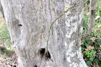 オリーブの古木の穴からアスパラガス、ウンブリア - イタリア写真草子 Fotoblog da Perugia