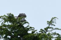 オオタカ 04月15日 - 旧サンヨン野鳥撮影放浪記