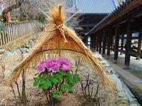 冬牡丹咲く長谷寺 - 徒然彩時記
