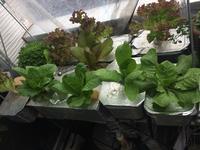 ひさびさの全貌、クレソンは絶好調、サニーレタスに蕾 - 3F garden(屋根付屋外水耕)