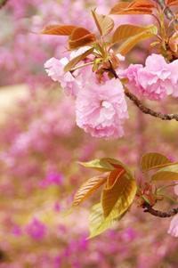 4/7・8、京都の桜~「太陽の塔」旅行、③仁和寺のミツバツツジ他 - 某の雑記帳