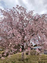 越前陶芸村しだれ桜まつり - 日だまりカフェ