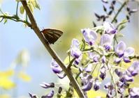 ☆トラフシジミは藤の花に集合☆ - 気ままなフォトライフ