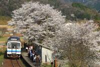 満開の桜に見送られて・・・ - かにさんの横歩き散歩日記