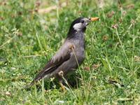 草むらのムクドリ - コーヒー党の野鳥と自然 パート2
