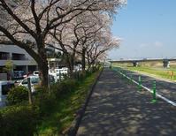 八王子よいとこ/浅川ゆったりロードの桜-1 - 八王子見て歩記