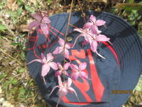 イカリソウ、4種 - 宮迫の! ようこそヤマボウシの森へ