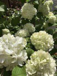 庭の日陰に咲く花 - 物欲が止まらない