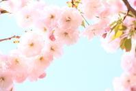 ご近所のsakura⑧2018/04/13 - 虹のむこうには何が見える?