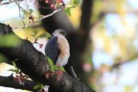 ツミ 赤い桜の蕊 - 気まぐれ野鳥写真