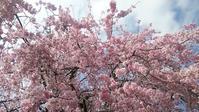 富山市婦中町の桜 - hills飛地 長距離自転車乗り(輪行含む)の日誌