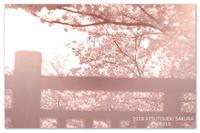 圧倒的桜。2018 - Yuruyuru Photograph