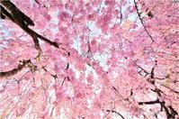 海津大崎桜#1 - あ お そ ら 写 真 社