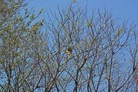 秋ヶ瀬のコイカル Yellow-billed Grosbeak - 素人写人 雑草フォト爺のブログ