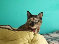 猫のお留守番 サチコちゃん編。 - ゆきねこ猫家族