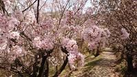 桜巡り4花見山4@福島県福島市 - 963-7837