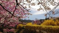 桜巡り4花見山5@福島県福島市 - 963-7837