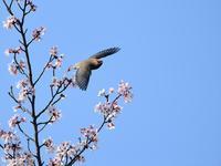 ピークは・・・桜絡みのレンジャク②(飛翔編) - 鳥見んGOO!(とりみんぐー!)野鳥との出逢い