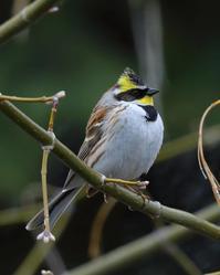 念願のミヤマホオジロ♪ - 北の大地で野鳥ときどきフライフィッシング