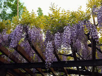 フジの花も満開なのねー - 続☆今日が一番・・・♪