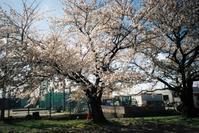 櫻も終わりのころ、ふと思い出してフィルムで。#04 - Yoshi-A の写真の楽しみ