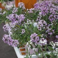 寄せ植え向きのアリッサム - sola og planta ハーバリストの作業小屋