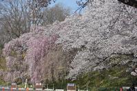 枝垂れ桜と標準木 - ちょっとネコばか
