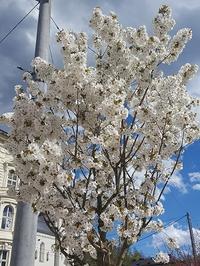 ザルツブルクの新名所ミラベル公園内の桜! - ザルツブログ ザルツブルク在住者による、グルメ・文化・旅行の贅沢写真日記