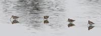 久し振りにMFの沼を探鳥し逢えた鳥達 - 私の鳥撮り散歩