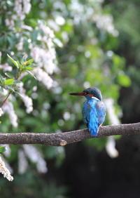 カワセミ アセビ(馬酔木)の花 - 気まぐれ野鳥写真