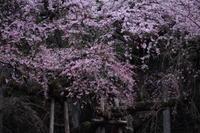 桜色の銀河を泳ぐ龍~某所・龍の桜~ - 拙者の写真修行小屋