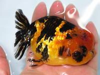 4月19日新着金魚のご紹介です。 - フルタニ金魚倶楽部blog