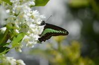 アオスジアゲハ ハンキュウ型 4月19日 - 超蝶