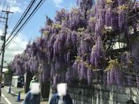 今日の信達宿の野田藤^_^ - ブレスガーデン Breath Garden 大阪・泉南のお花屋さんです。バルーンもはじめました。