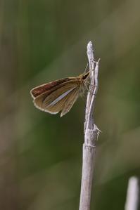 ギンイチ例年より早い発生 - 蝶超天国