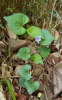 #スミレ 『蝦夷の立坪菫』 Viola acuminata - 自然感察 *nature feeling*