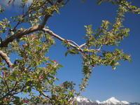 りんごの花 - 八ヶ岳 革 ときどき くるみ