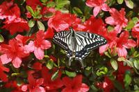 ナミアゲハツツジの公園で - 蝶のいる風景blog
