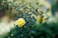 Rose - ∞ infinity ∞