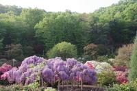 満開の藤を見に ~ あしかがフラワーパーク Ⅰ - 季節の風を追いかけて