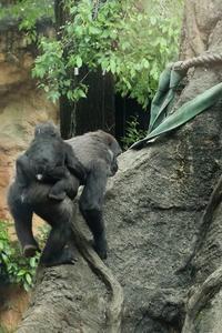 僕はゴリラの赤ちゃんリキ。お姉ちゃんが手荒く僕と遊んでくれます(その前半)(上野動物園) - 旅プラスの日記