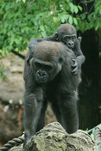 僕はゴリラの赤ちゃんリキ。お姉ちゃんが手荒く僕と遊んでくれます(その後半)(上野動物園) - 旅プラスの日記