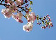 春のラストランナー八重桜 - イーハトーブ・ガーデン