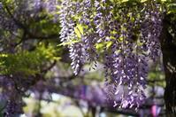 春の散歩道 ~20170400 @深大寺&神代植物公園 - ソラトシッポノカケラタチ