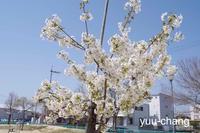 2018.3.31 白い桜 - 下手糞PHOTO BLOG